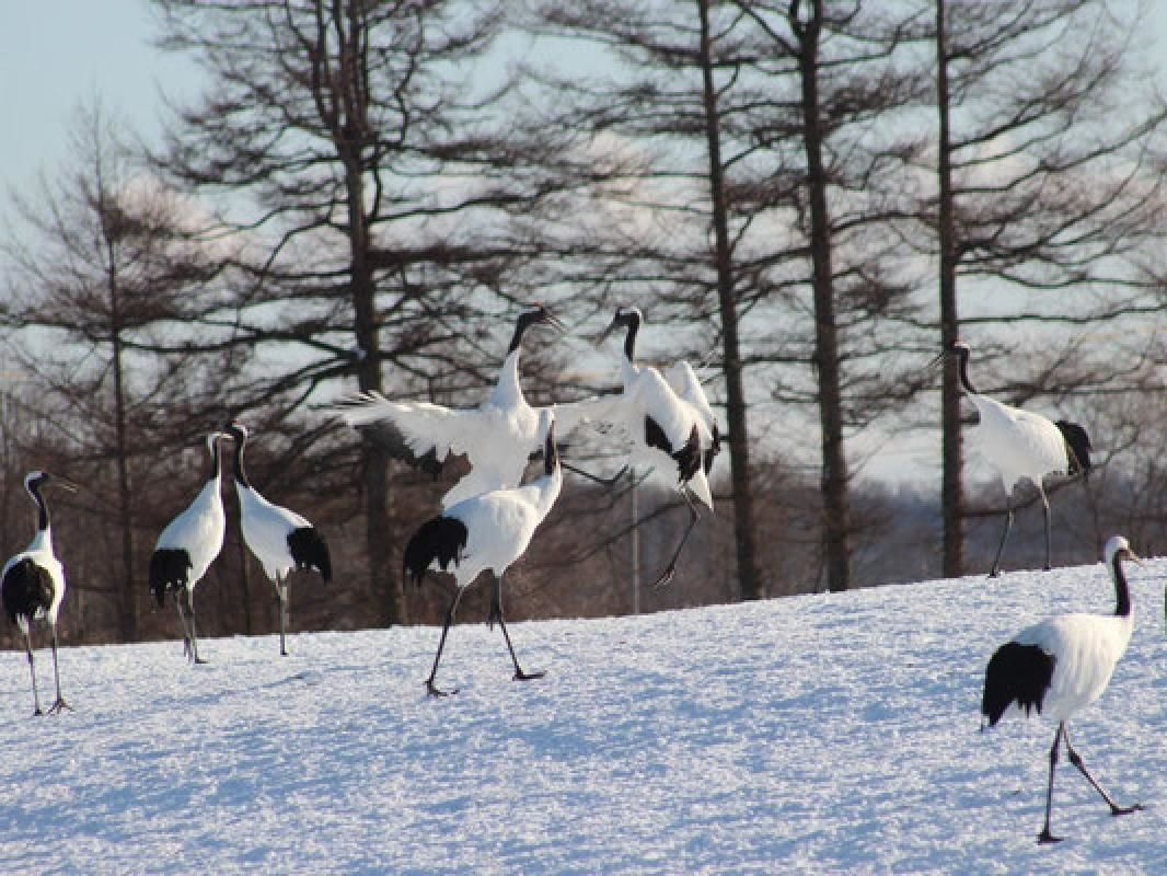 Private Taxi Tour to Red-Crested White Cranes Preserve from Kushiro