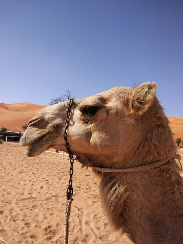 Al Ain: Adventure Camelfarm - Private tour into the desert