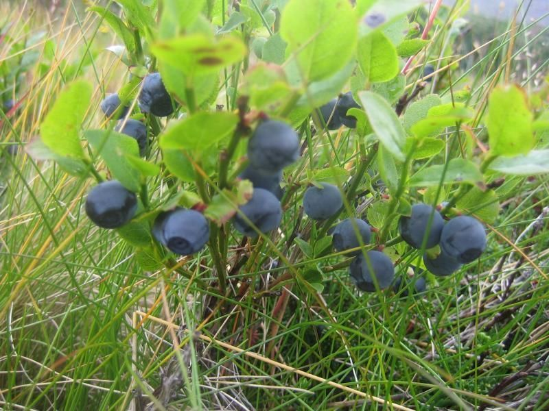 Walking Tour of Ísafjörður: Plants and wild Herbs