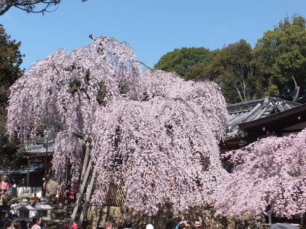 Half Day Murouji and Hasedera Temples Sightseeing Taxi Tour from Nara