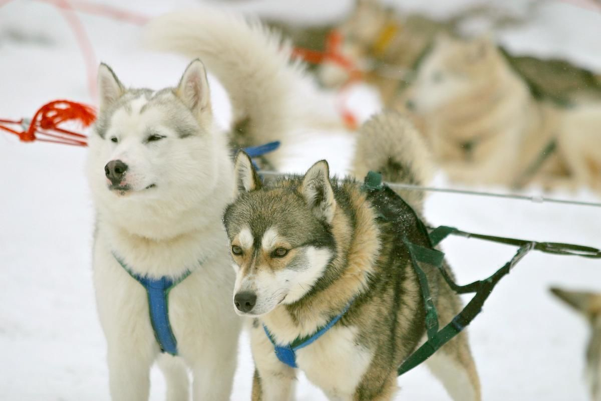 Husky Sled Ride and Ranch Visit from Rovaniemi