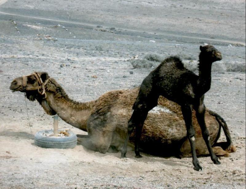 Camel excursion 1 hour