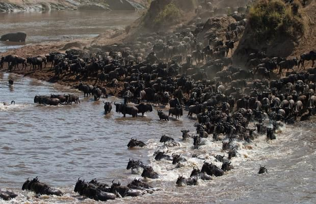 The great wildebeest Migration, Maasai Mara