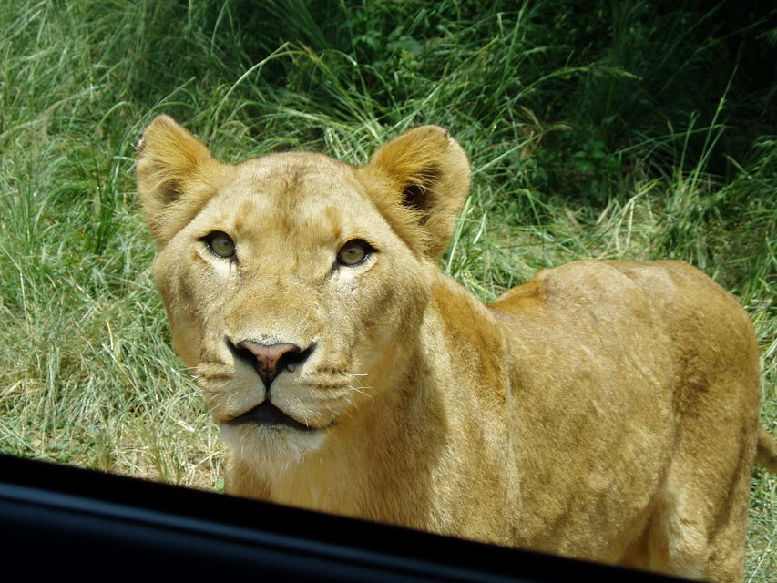 From Durban: Mini Safari with Lion Park Visit