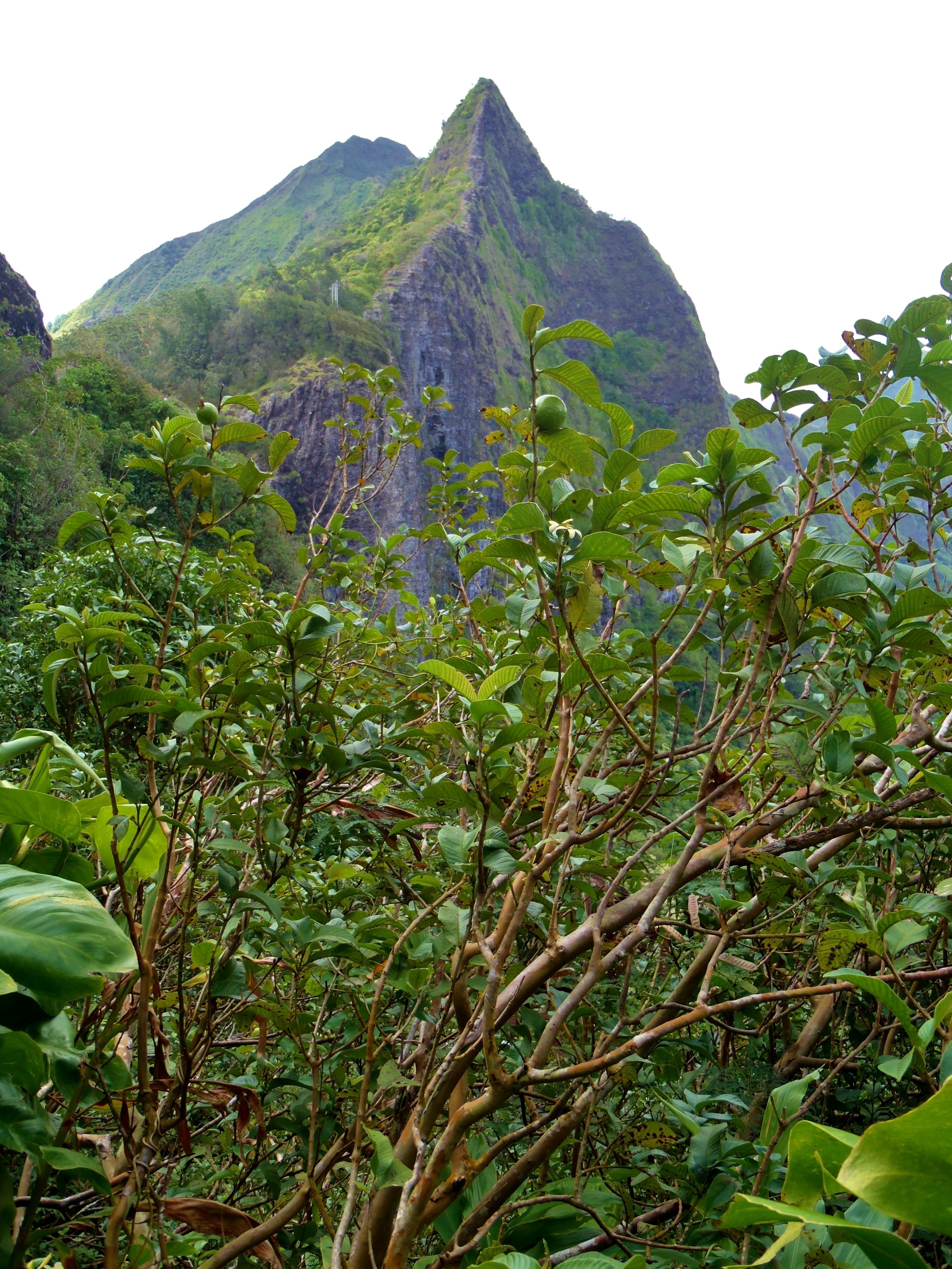 Hawaiian Medicinal Plants Hike